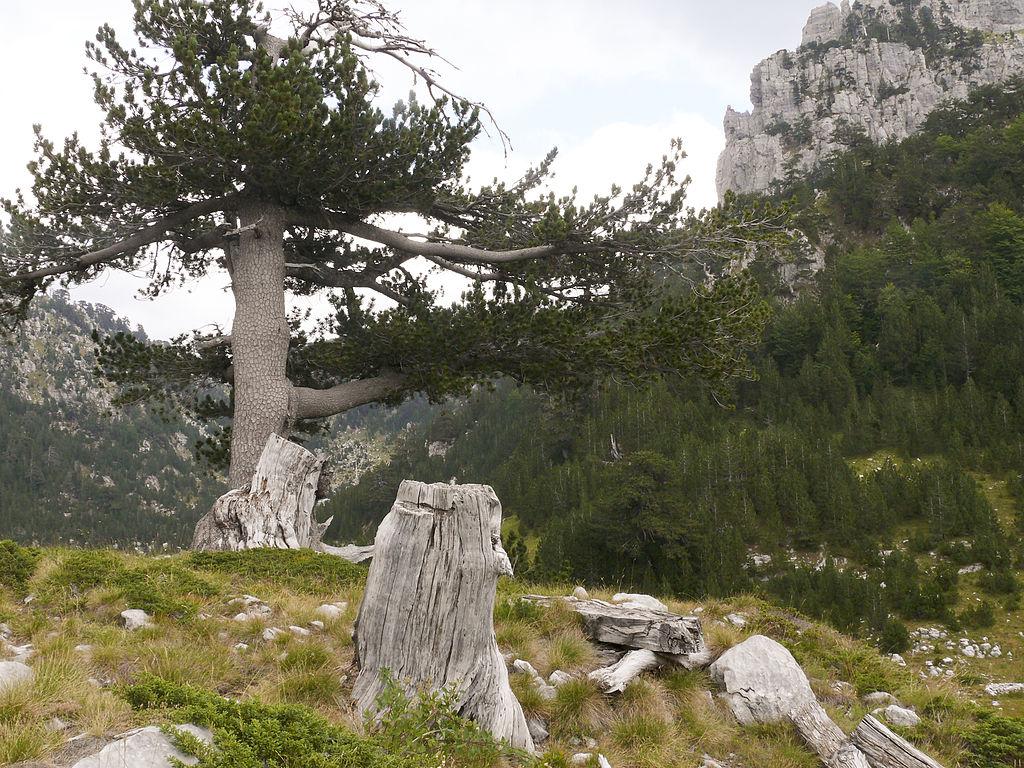 Старейшее дерево Европы обнаружили вИталии
