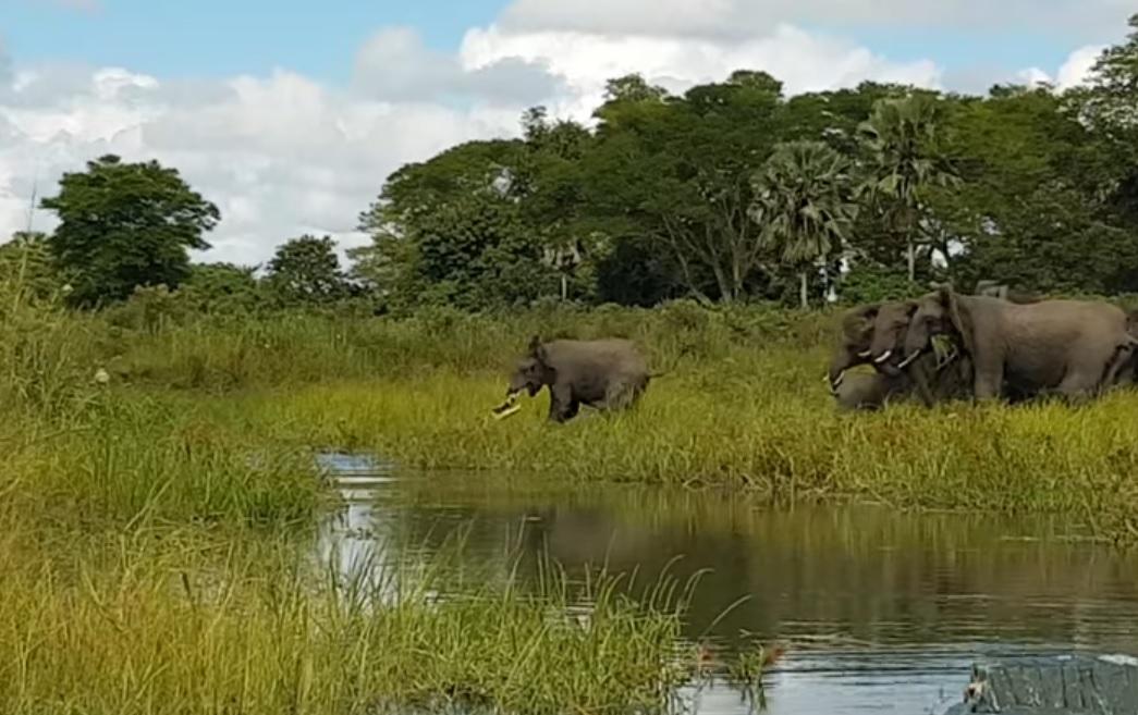 Очевидец снял навидео схватку слоненка скрокодилом