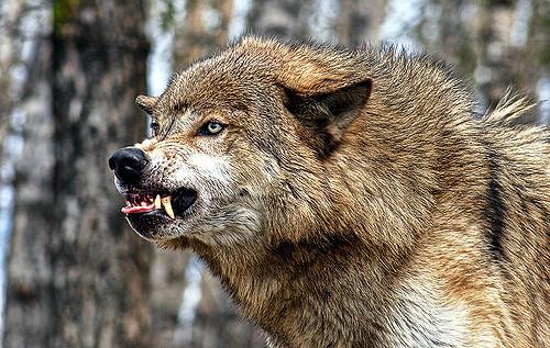 ВИнгушетии голодный волк попытался уничтожить игравших наулице детей