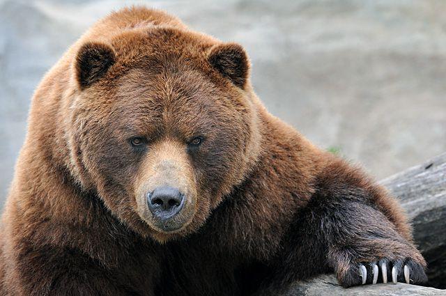 Медведь откусил руку 42-летнему мужчине вкафе Шелеховского района