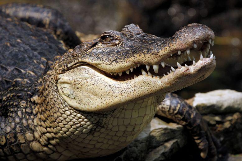 Крокодил откусил часть конечности справлявшему вокеан нужду туристу