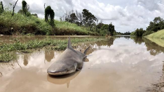 Необычайным ветром напроезжую часть вАвстралии выкинуло крупную акулу