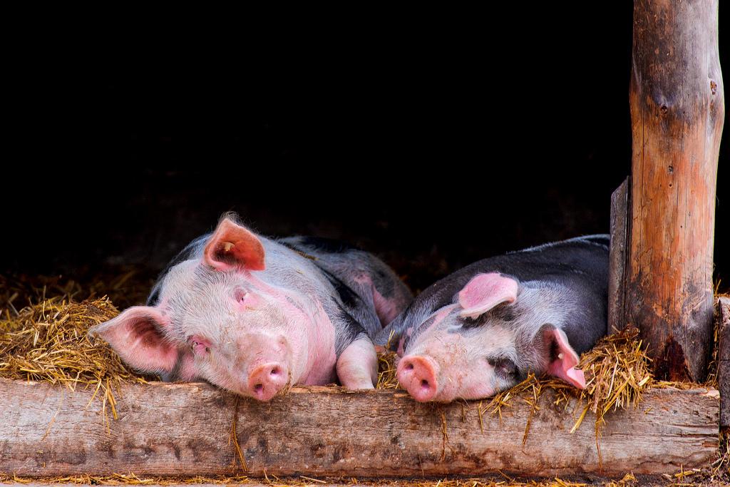 Открыт новый вирус свиней, опасный для человека