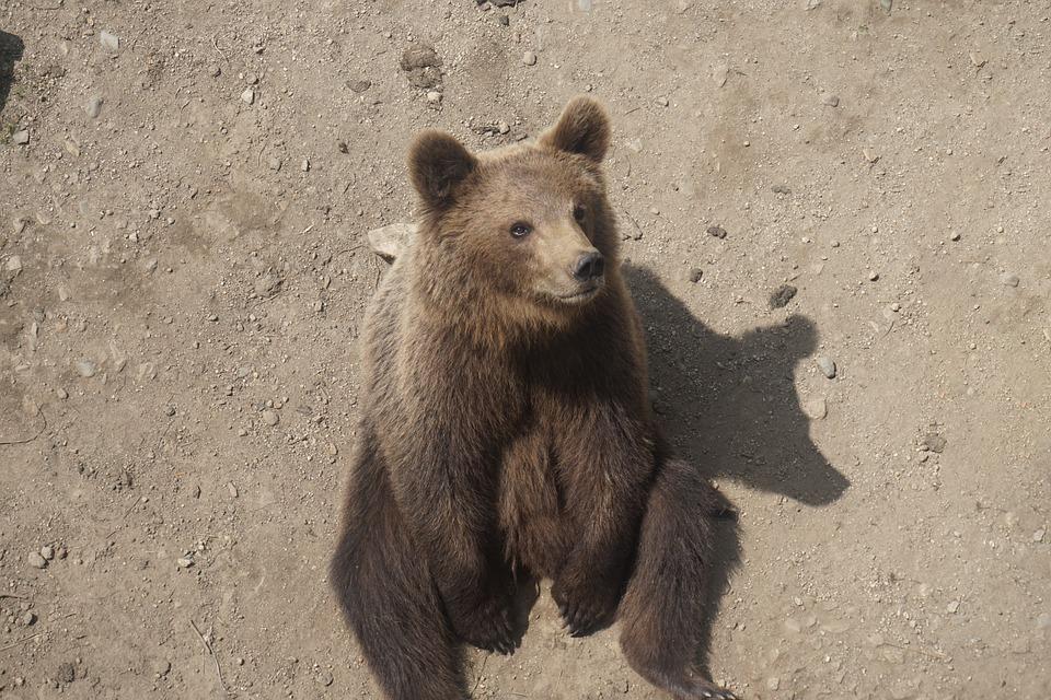 Это Сибирь, детка: кузбассовец покормил дикого медведя сруки