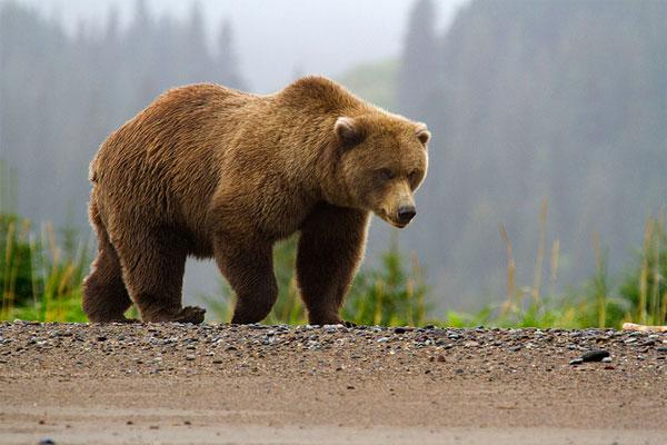 ДТП сучастием медведя вСША забрало жизни 3-х человек