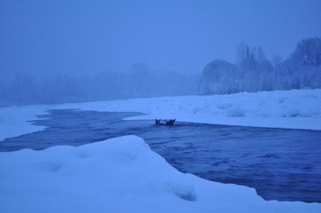 Работники кузбасского заповедника спасли 2-х тонущих лосей