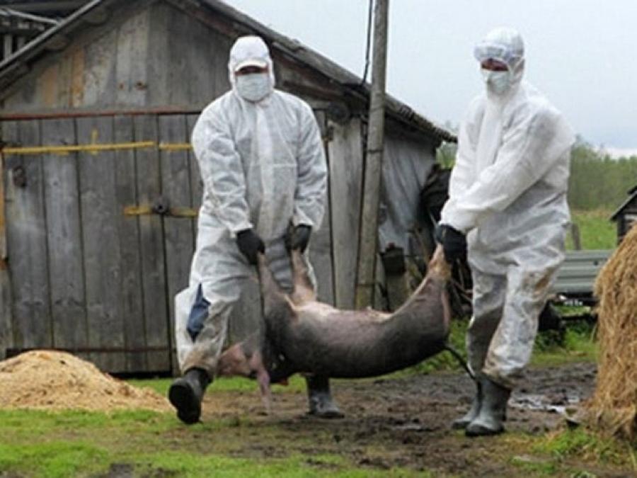 Африканская чума добралась доЖитомирской области