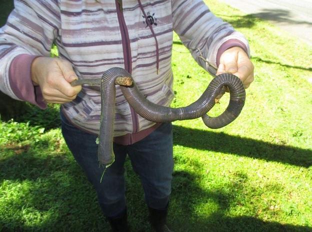 ВАвстралии сфотографировали земляного червя длиной практически вметр