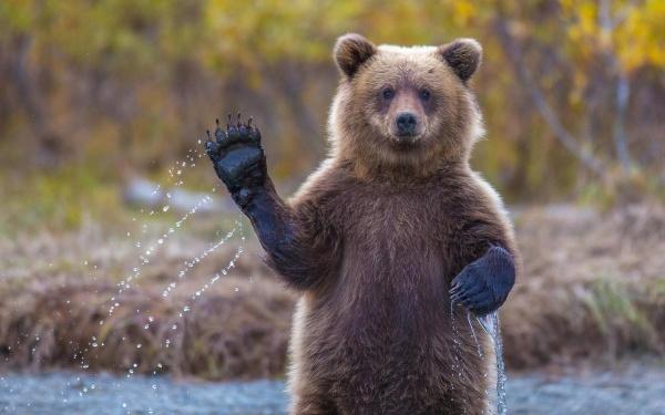 Косолапое видео изКузбасса: Подачному поселку бегал медвежонок