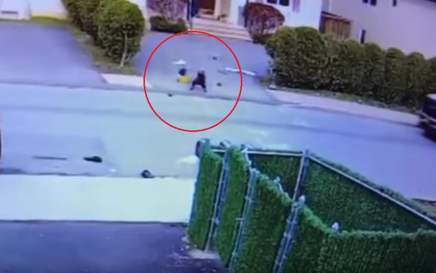 Нападение питбуля на 3-х летнего ребенка попало навидео
